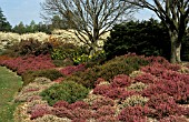 HEATHER GARDEN,  HEATHERS,  ERICACEAE,  HEATHER BORDER,  WINTER