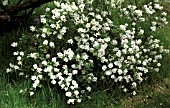 EXOCHORDA MACRANTHA,  THE BRIDE,  WHOLE SHRUB,  LONG GRASS