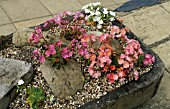 LEWISIA COTYLEDON,   SMALL ROCK GARDEN IN CEMENT TROUGH