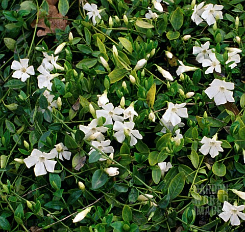 ecr165b vinca minor f alba 39 gertrude jekyll 39 asset details garden world images. Black Bedroom Furniture Sets. Home Design Ideas