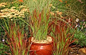IMPERATA CYLINDRICA RED BARON,  GRASS,  POACEAE,  CONTAINER