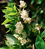LONICERA FRAGRANTISSIMA, (FRAGRANT HONEYSUCKLE / SHRUBBY HONEYSUCKLE)