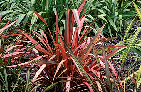 PHORMIUM_EVENING_GLOW__NEW_ZEALAND_FLAX