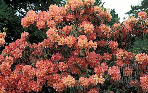RHODODENDRON_ARTHUR_WARREN__ORANGE_FLOWERS_WHOLE_PLANT
