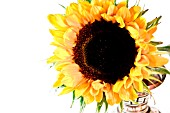 HELIANTHUS, SUNFLOWER IN A VASE