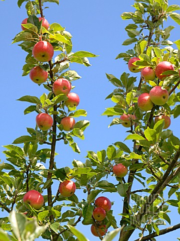 APPLE_ORCHARD_IN_AUGUST