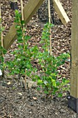 NEWLY PLANTED GOOSEBERRIES