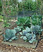 NETTING OVER CABBAGES IN RAISED BED