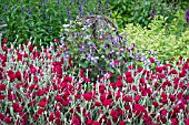LYCHNIS CORONARIA GARDENERS WORLD BLYCH WITH CLEMATIS