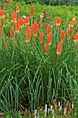 KNIPHOFIA (TRITOMA, FALSE ALOES)