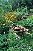 WHEELBARROW IN ORGANIC VEGETABLE GARDEN  IN FLOWER