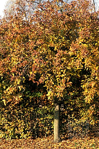 _MESPILUS_GERMANICA__MEDLAR__AGAINST_A_BEECH_HEDGE__AUTUMN_COLOURS