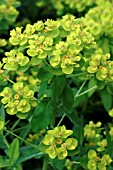 EUPHORBIA PALUSTRIS.