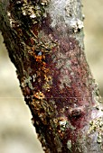 BACTERIAL CANKER FROM OOZING GUM ON APRICOT