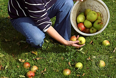 COLLECTING_WINDFALL_APPLES