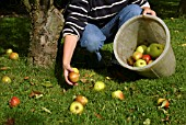 COLLECTING WINDFALL APPLES