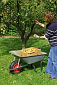 PICKING APPLES EGREMONT RUSSET