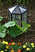 CLOCHE AND COURGETTES (BARNSDALE GARDENS)
