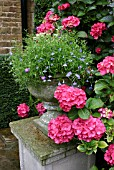 PLANTED STONE URN BACKED BY PINK MOPHEAD HYDRANGEA (THE GRANGE,  GRANTHAM)