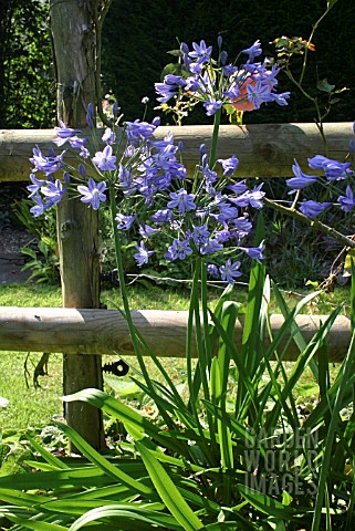 AGAPANTHUS_AFRICAN_LILY_THE_OLD_VICARAGE__HOLBEACH_HURN