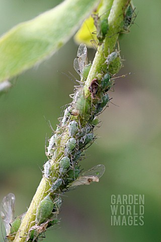 LUPIN_APHID_MACROSIPHUM_ALBIFRONS_ON_LUPINS