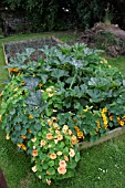 COURGETTES AND NASTURTIUMS GROWING IN A RAISED BED.
