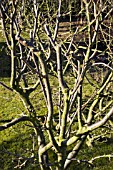 PRUNED APPLE TREES; MANOR HOUSE GARDENS; ASLACKBY; LINCS.