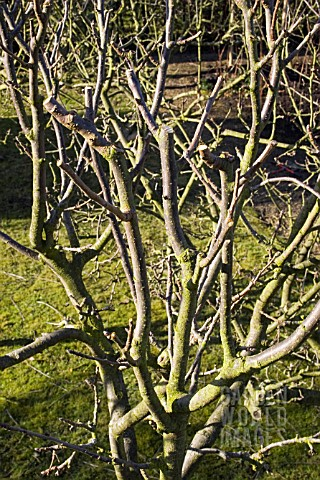 PRUNED_APPLE_TREES_MANOR_HOUSE_GARDENS_ASLACKBY_LINCS