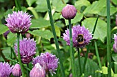 ALLIUM SCHOENOPRASUM WITH BUMBLE BEE.