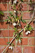 CLEMATIS NAPAULENSIS SEEDHEADS AGAINST WALL