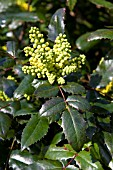MAHONIA X WAGNERI PINNACLE
