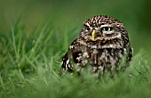 ATHENE NOCTUA, (LITTLE OWL) IN THE GRASS