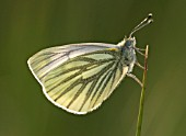 (ARTOGEIA NAPI) GREEN-VEINED WHITE BUTTERFLY