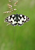 MARBLED WHITE BUTTERFLY AT REST ON GRASS