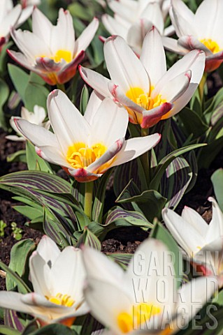 TULIPA_KAUFMANNIANA_THE_FIRST