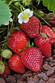 FRAGARIA ANANASSA OSTARA, (STRAWBERRY OSTARA)