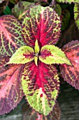 SOLENOSTEMON SCUTELLARIOIDES VERSA COLLECTION ROSE TO LIME