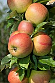 MALUS DOMESTICA GOLDPARMANE, (APPLE GOLDPARMANE) (SYN. MALUS DOMESTICA REINE DES REINETTES)