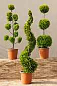 CUPRESSUS MACROCARPA GOLDCREST MIX (CLOUD, SPIRAL AND POM POM STANDARD TOPIARY FORMS)