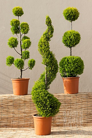 CUPRESSUS_MACROCARPA_GOLDCREST_MIX_CLOUD_SPIRAL_AND_POM_POM_STANDARD_TOPIARY_FORMS