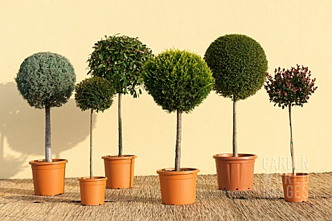 CUPRESSUS_CUPRESSOCYPARIS_LOLLIPOP_STANDARD_TOPIARY_MIX