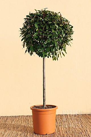PHOTINIA_FRASERI_RED_ROBIN_LOLLIPOP_STANDARD_TOPIARY