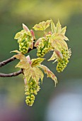 ACER PLATANOIDES (NORWAY MAPLE), FLOWERS AND FOLIAGE