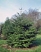 ABIES GRANDIS, (SYN. ABIES EXCELSIOR), (GRAND FIR TREE)