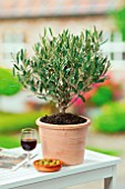 OLEA EUROPAEA (OLIVE), IN CONTAINER WITH GLASS OF RED WINE AND DISH OF OLIVES