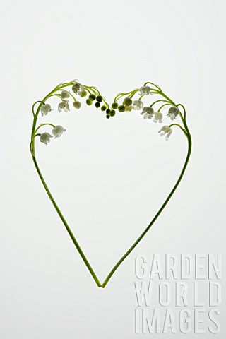 CONVALLARIA_MAJALIS_IN_HEART_SHAPE
