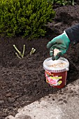 ADDING FERTILIZER - NEWLY PLANTED ROSE
