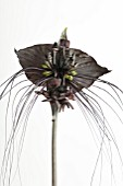 TACCA CHANTRIERI BLACK BEAUTY, (BAT PLANT BLACK BEAUTY)