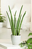 SANSEVIERIA CYLINDRICA (AFRICAN SPEAR PLANT)