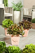LETTUCE MIX IN POTS; LACTUCA SATIVA FORELLENSCHLUSS, KAMIKAZE, SALAD BOWL RED
